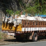 Truckload of Indigenous Indian Cows