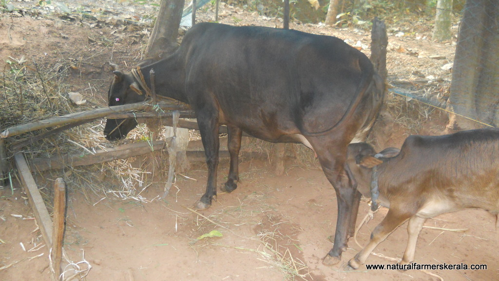 3 months old kasargod bull with visible hump