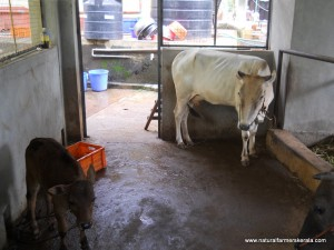 Coorg Dwarf Cow which looks similar to vechur cows of kerala