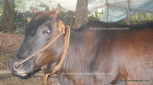Zebu Cattle with not very prominent hump