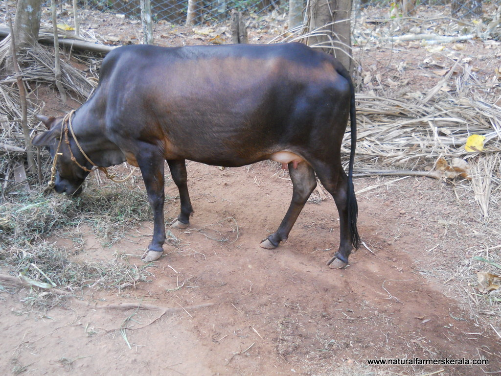 Indian Cow tail almost touching the ground