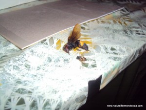 Asian Hornet and honey bee killed after hornet attack
