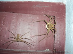 Male and Female Huntsman Spider with Egg Sack