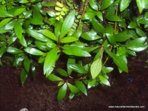 vishapacha perennial herb - Clinacanthus siamensis