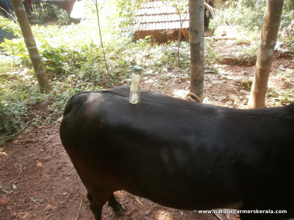 bottle can be balanced on the backbone of indian cows