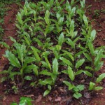 Turmeric on raised bed with mulch