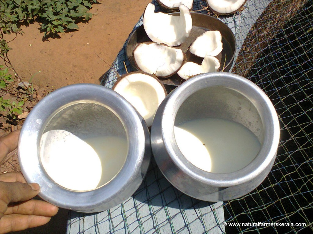 Indian cows and packet milk after boiling