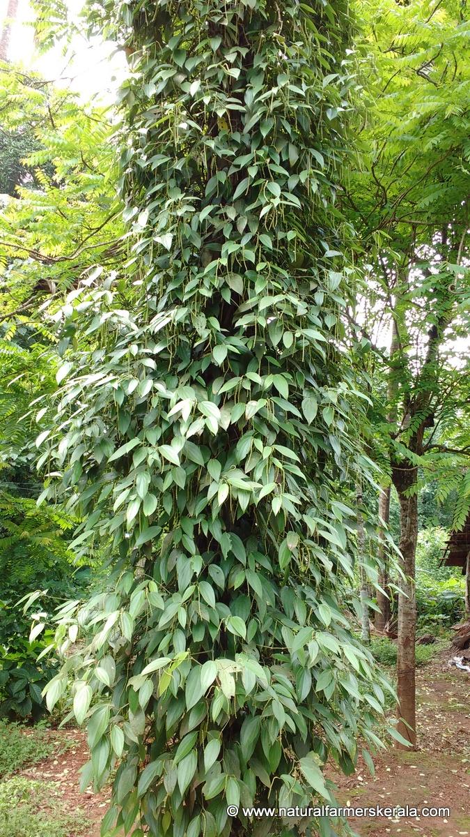 black pepper can climb arecanut tree