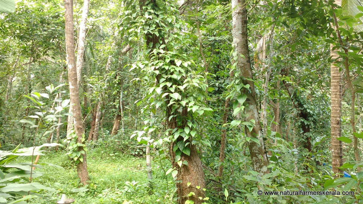Black pepper vine on huge tree kerala