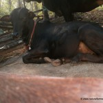Kasaragod bull resting