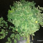 Moringa or also know as drumstick leaves
