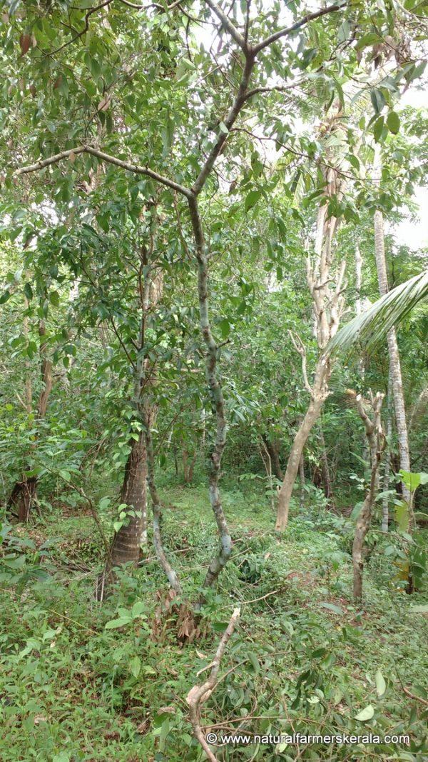 true ceylon cinnamon tree