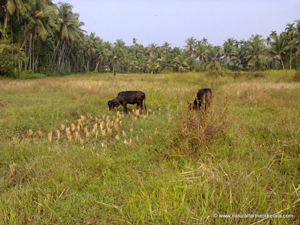 Different varieties of grass with paddy (Paddy needs to be planted in line)