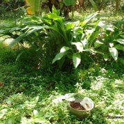 Turmeric Naturally growing