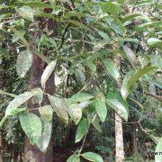 Brindle berry tree closeup