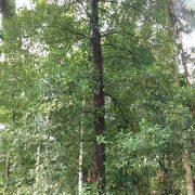Kudampuli tree Garcinia Gummi-gutta