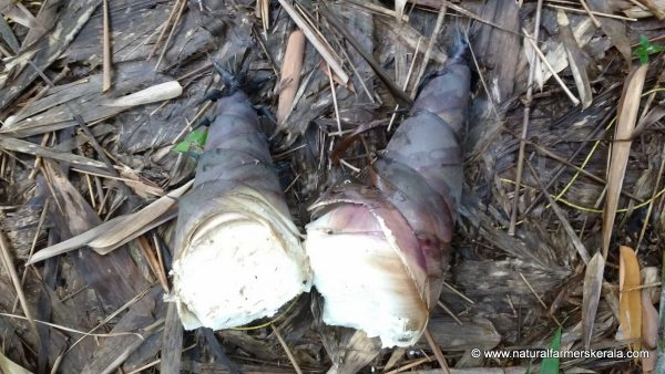 fresh bamboo shoots