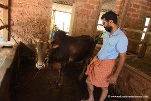 Kasargod Kapila Bull