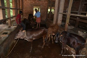 cows tied in Indian sheds