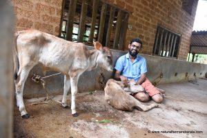 Kasargod calf in Perla