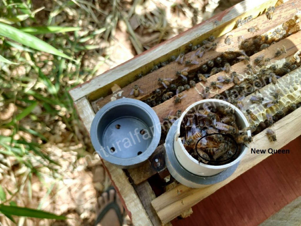 Queen bee, still in it's module, transplanted into a new hive