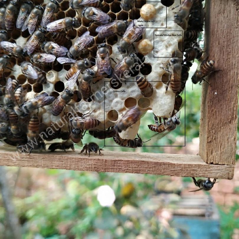 Honey comb showing queen and worker bee cells